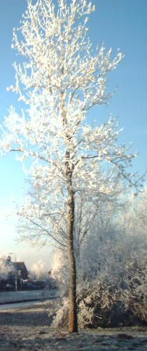 Mooi boom met rijp tijdens kerst 2007